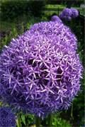 Allium Alley
